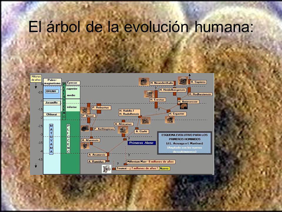 El árbol de la evolución humana: