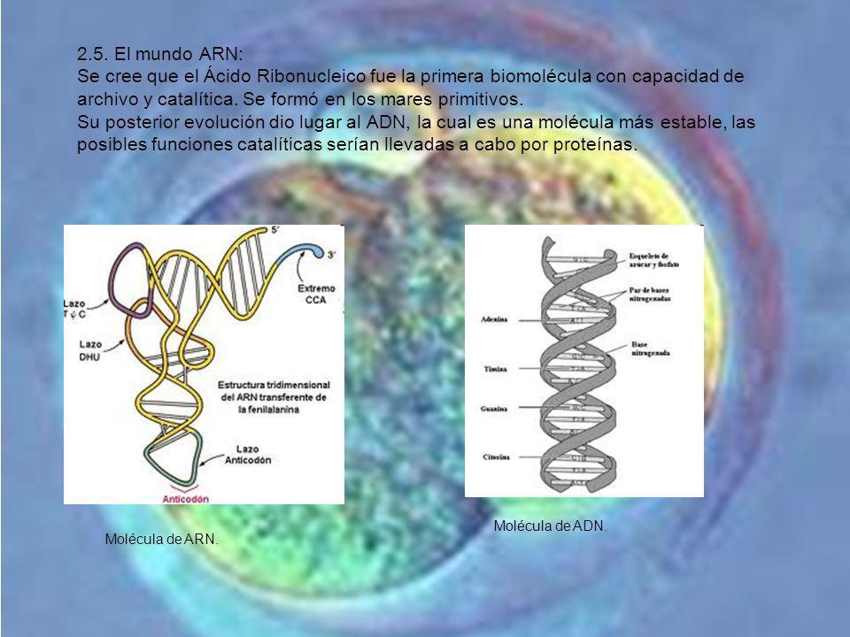 2.5. El mundo ARN: Se cree que el Ácido Ribonucleico fue la primera biomolécula con capacidad de archivo y catalítica. Se formó en los mares primitivo