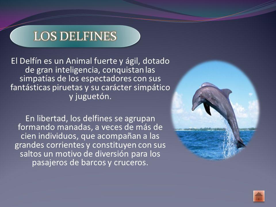 El Delfín es un Animal fuerte y ágil, dotado de gran inteligencia, conquistan las simpatías de los espectadores con sus fantásticas piruetas y su carácter simpático y juguetón.