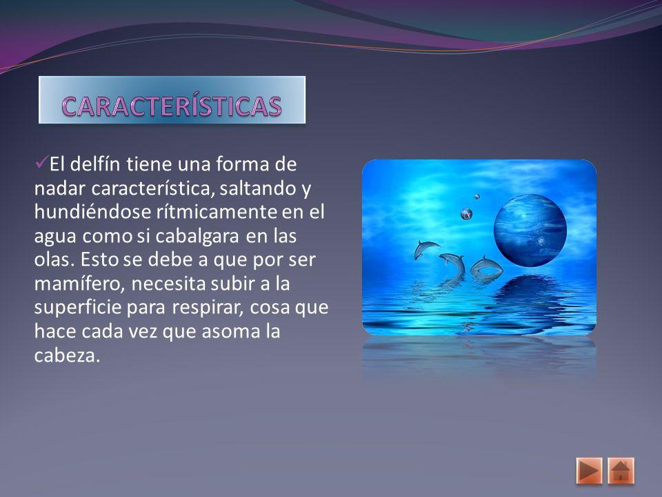 El cuerpo del delfín tiene la forma de huso, con una longitud total de 2 o 2,5 metros.