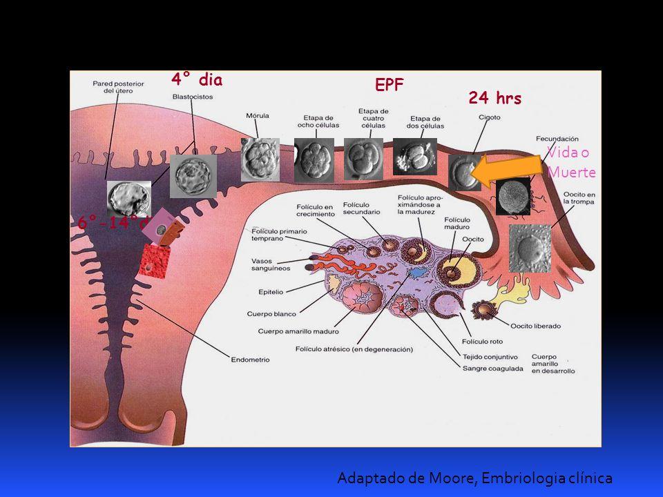6°-14°dia Adaptado de Moore, Embriologia clínica 24 hrs 4° dia EPF Vida o Muerte