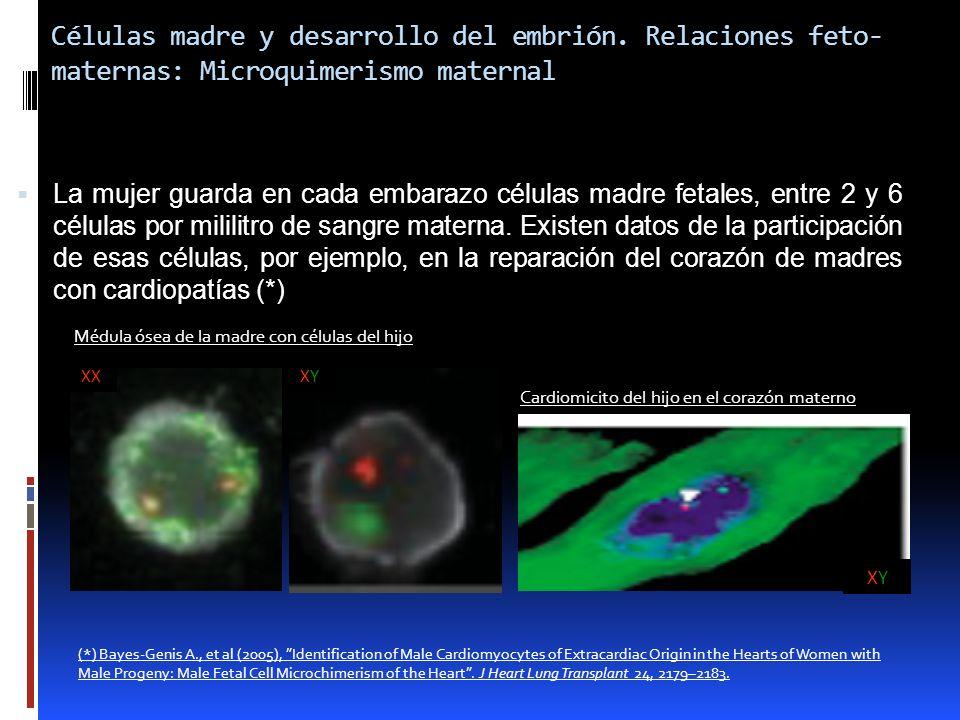 Células madre y desarrollo del embrión. Relaciones feto- maternas: Microquimerismo maternal La mujer guarda en cada embarazo células madre fetales, en
