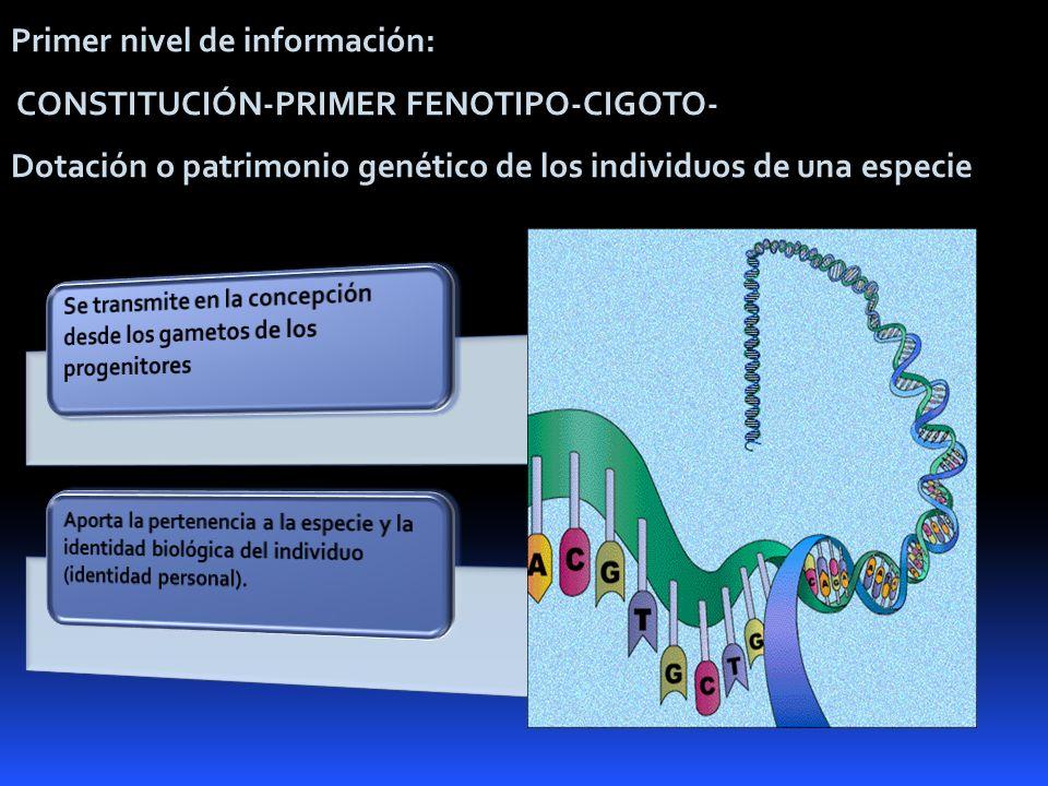 Primer nivel de información: CONSTITUCIÓN-PRIMER FENOTIPO-CIGOTO- Dotación o patrimonio genético de los individuos de una especie