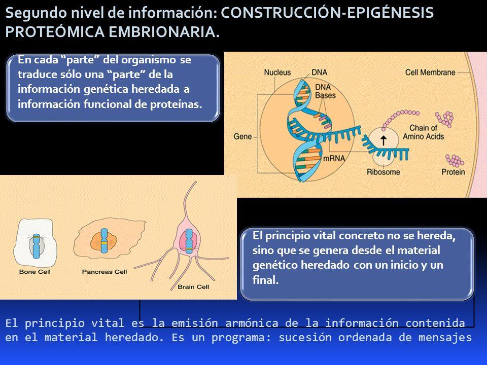 Segundo nivel de información: CONSTRUCCIÓN-EPIGÉNESIS PROTEÓMICA EMBRIONARIA. En cada parte del organismo se traduce sólo una parte de la información
