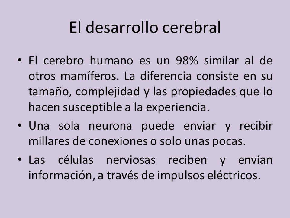 El desarrollo cerebral El cerebro humano es un 98% similar al de otros mamíferos.