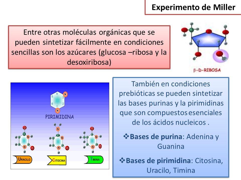 Experimento de Miller Entre otras moléculas orgánicas que se pueden sintetizar fácilmente en condiciones sencillas son los azúcares (glucosa –ribosa y la desoxiribosa) También en condiciones prebióticas se pueden sintetizar las bases purinas y la pirimidinas que son compuestos esenciales de los ácidos nucleicos.