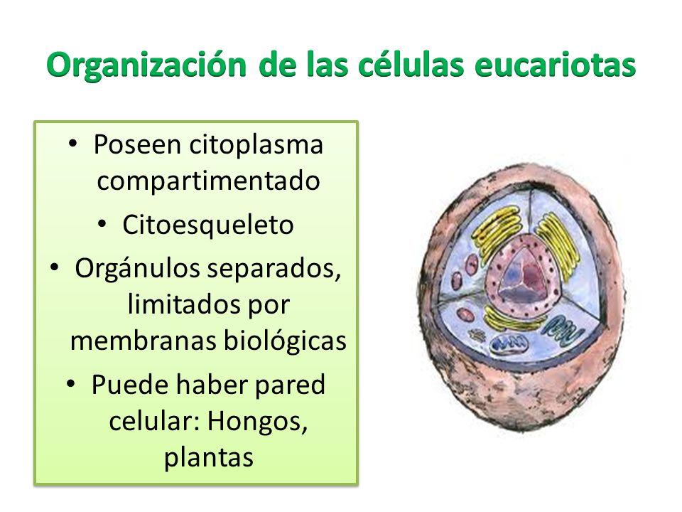 Poseen citoplasma compartimentado Citoesqueleto Orgánulos separados, limitados por membranas biológicas Puede haber pared celular: Hongos, plantas Poseen citoplasma compartimentado Citoesqueleto Orgánulos separados, limitados por membranas biológicas Puede haber pared celular: Hongos, plantas