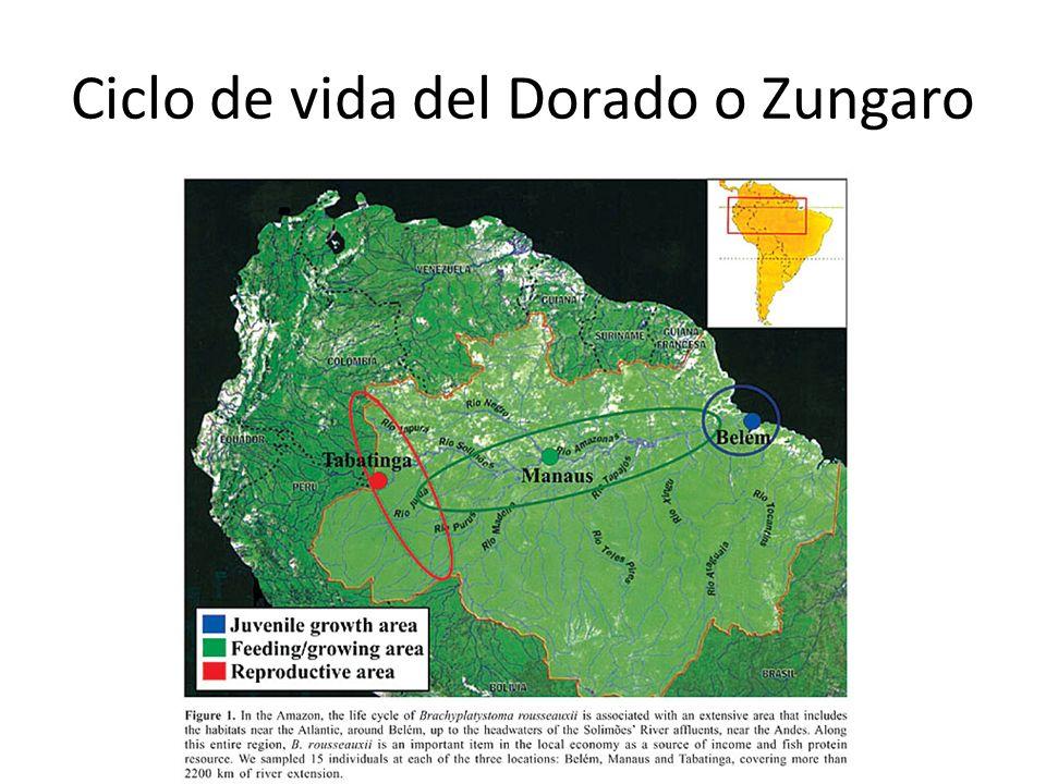 Ciclo de vida del Dorado o Zungaro