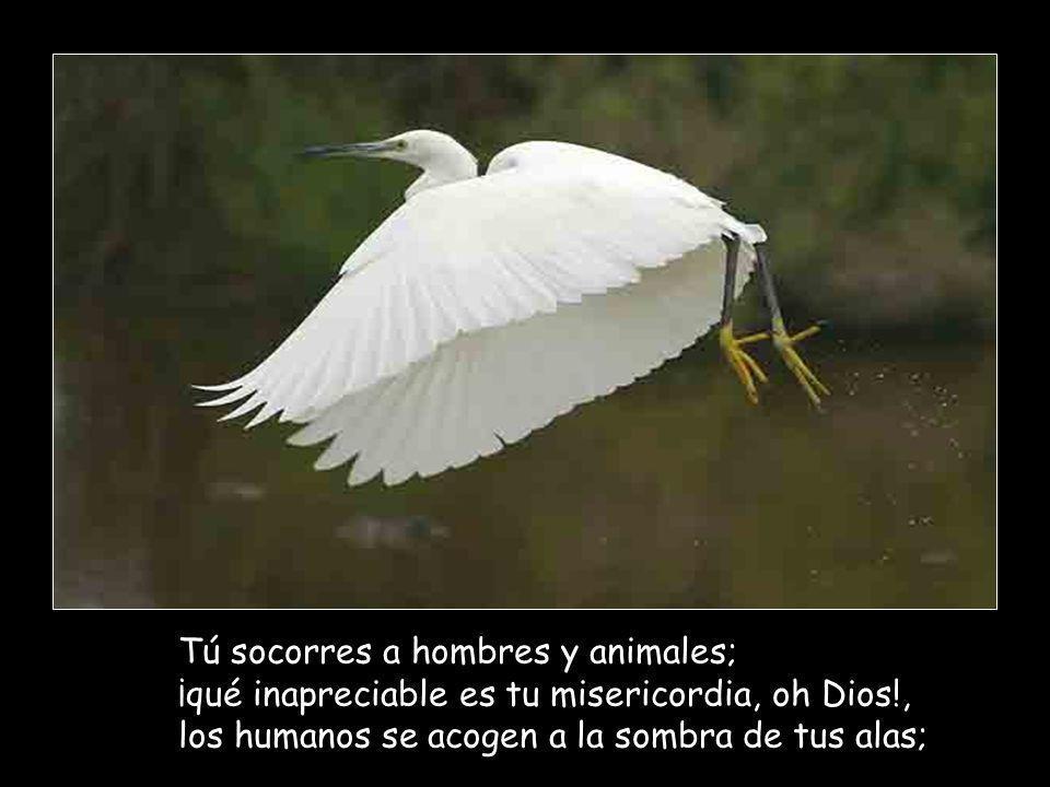 Tú socorres a hombres y animales; ¡qué inapreciable es tu misericordia, oh Dios!, los humanos se acogen a la sombra de tus alas;