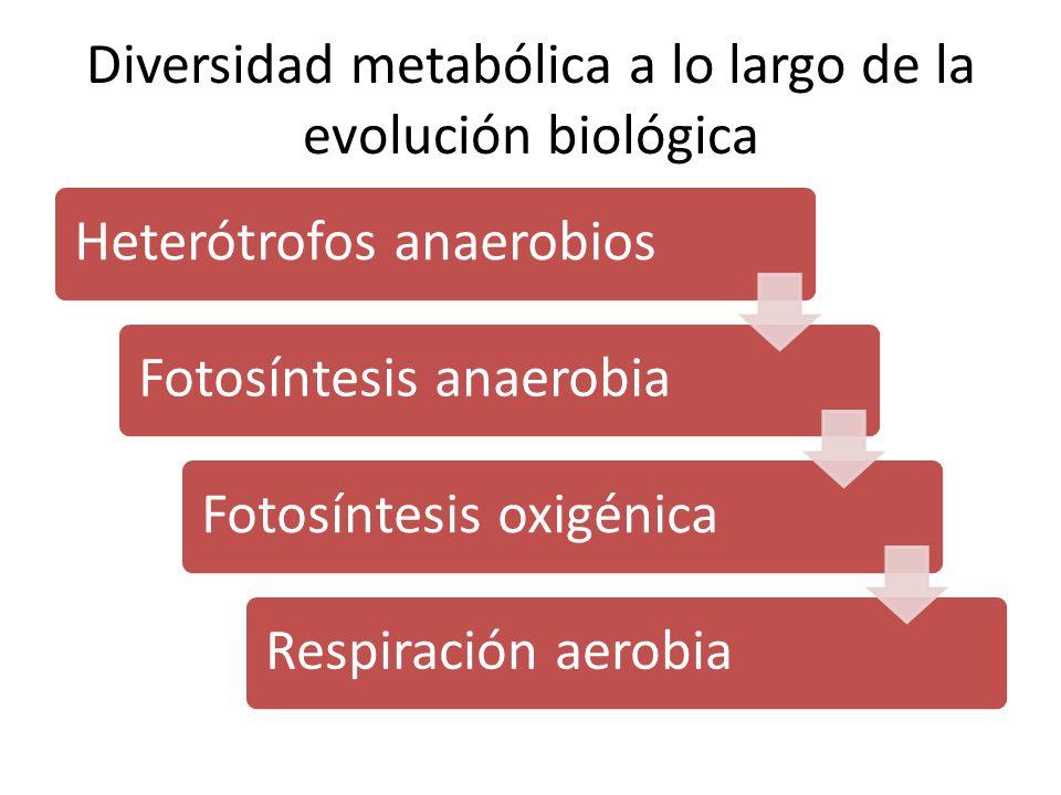 Diversidad metabólica a lo largo de la evolución biológica Heterótrofos anaerobiosFotosíntesis anaerobiaFotosíntesis oxigénicaRespiración aerobia