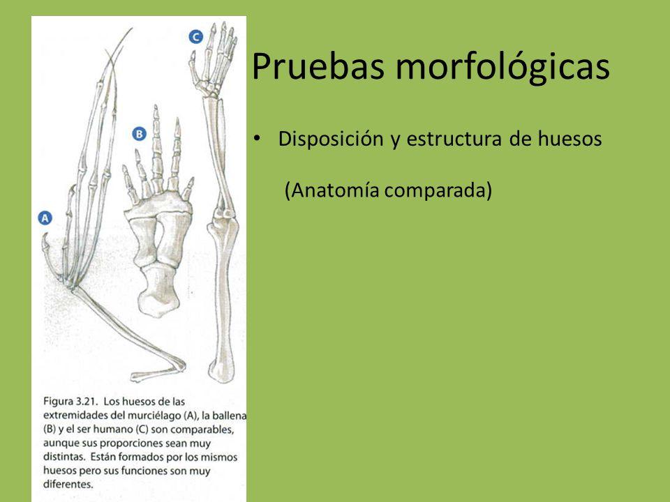 Pruebas morfológicas Disposición y estructura de huesos (Anatomía comparada)