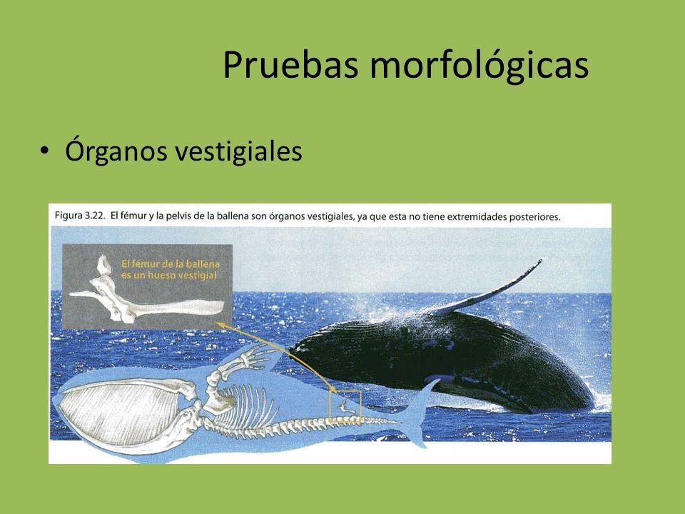 Pruebas morfológicas Órganos vestigiales