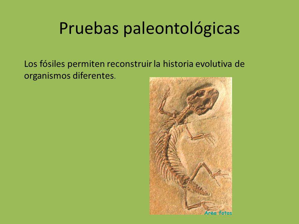 Pruebas paleontológicas Los fósiles permiten reconstruir la historia evolutiva de organismos diferentes.