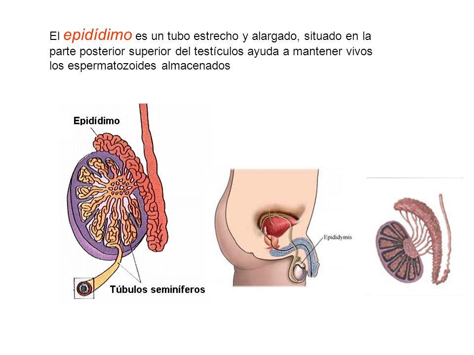 Sistema reproductor masculino: formado por testículos, pene, epídidimo, conductos deferentes, vesículas seminales y próstata