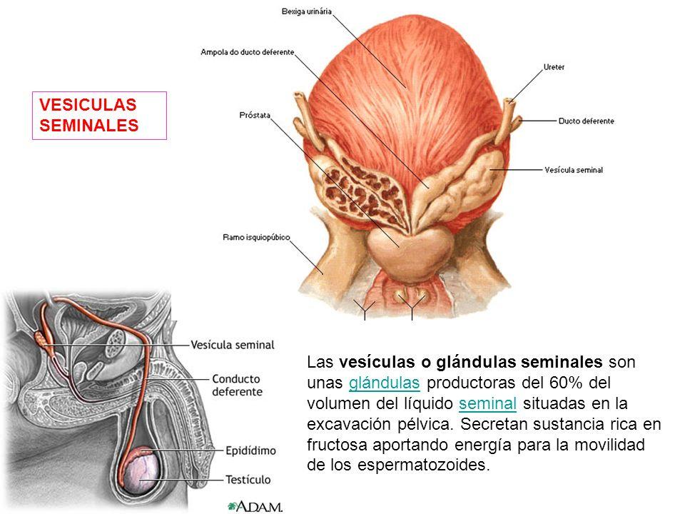 Los conductos deferentes constituyen parte de la anatomía masculina de algunas especies, incluyendo la humana. Son un par de tubos musculares rodeados