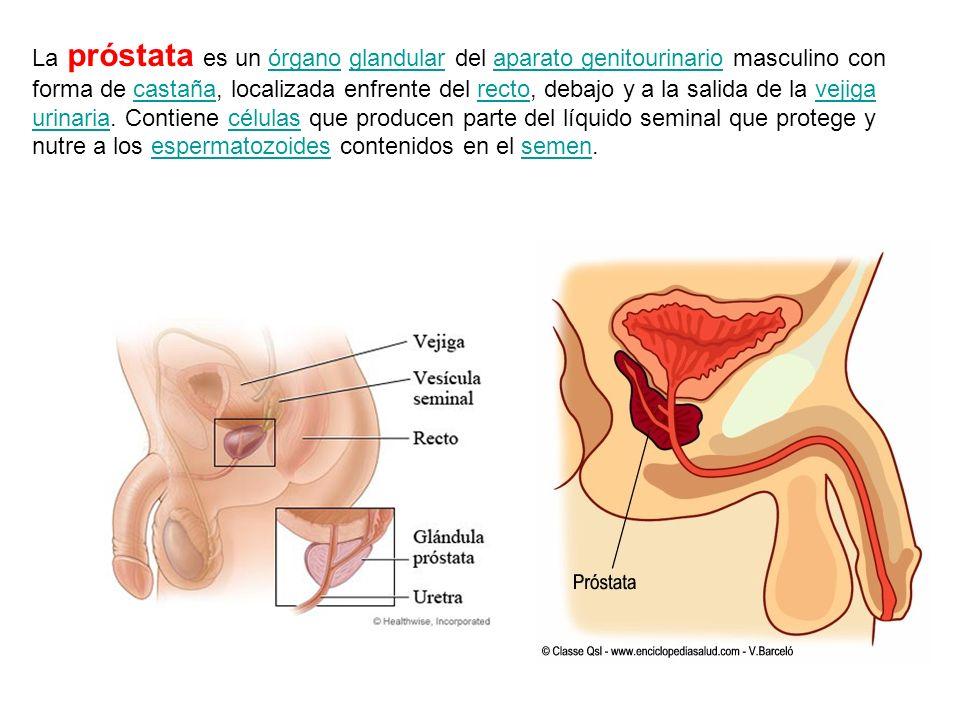 Las vesículas o glándulas seminales son unas glándulas productoras del 60% del volumen del líquido seminal situadas en la excavación pélvica. Secretan