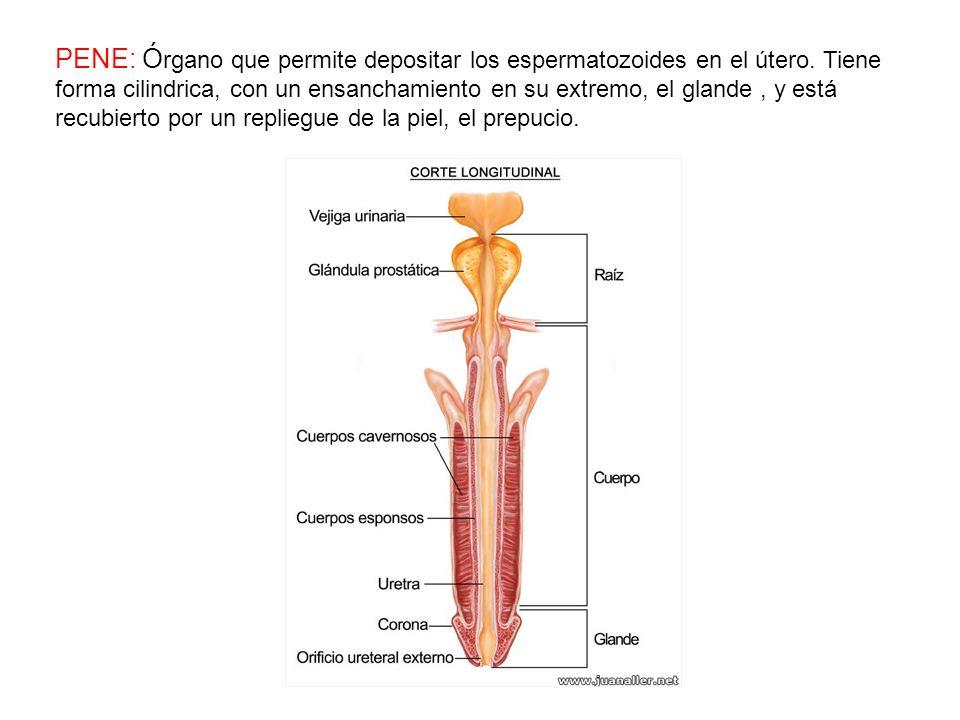 La uretra es el conducto por el que pasa la orina en su fase final del proceso urinario desde la vejiga urinaria hasta el exterior del cuerpo durante