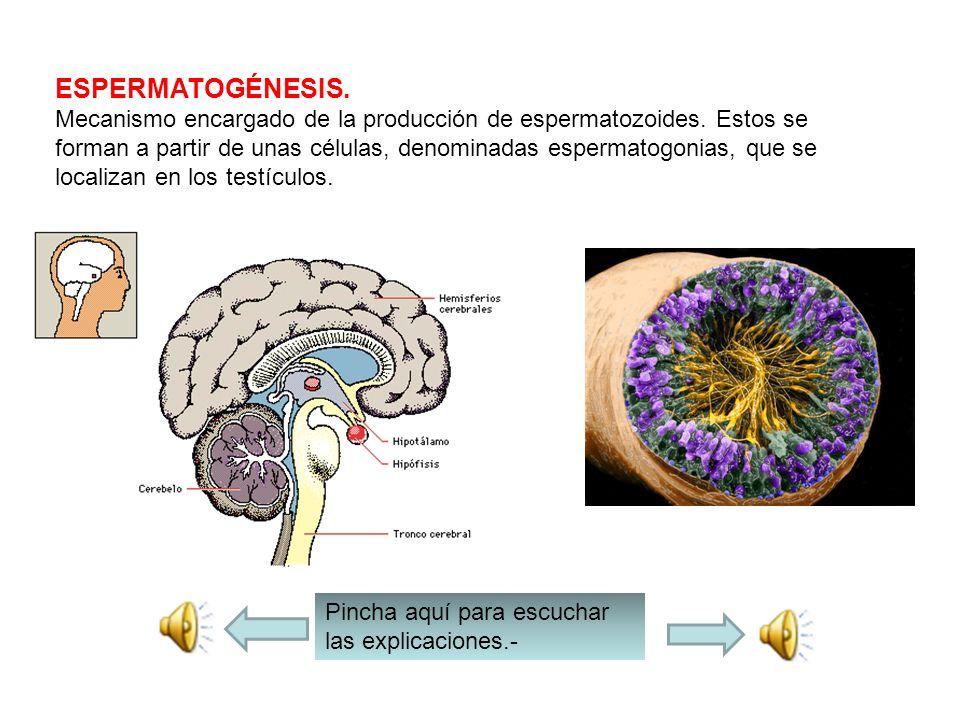 Los espermatozoides son sintetizados (fabricados) en los conductos seminíferos de los testículos y se excretan al exterior en la eyaculación por la ur