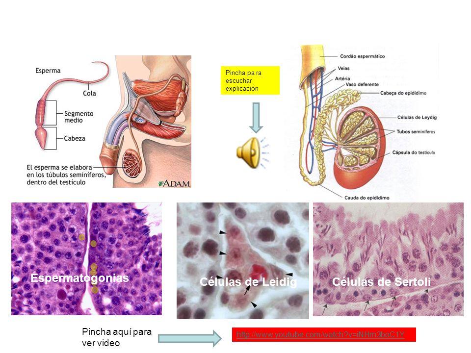 ESPERMATOGÉNESIS. Mecanismo encargado de la producción de espermatozoides. Estos se forman a partir de unas células, denominadas espermatogonias, que