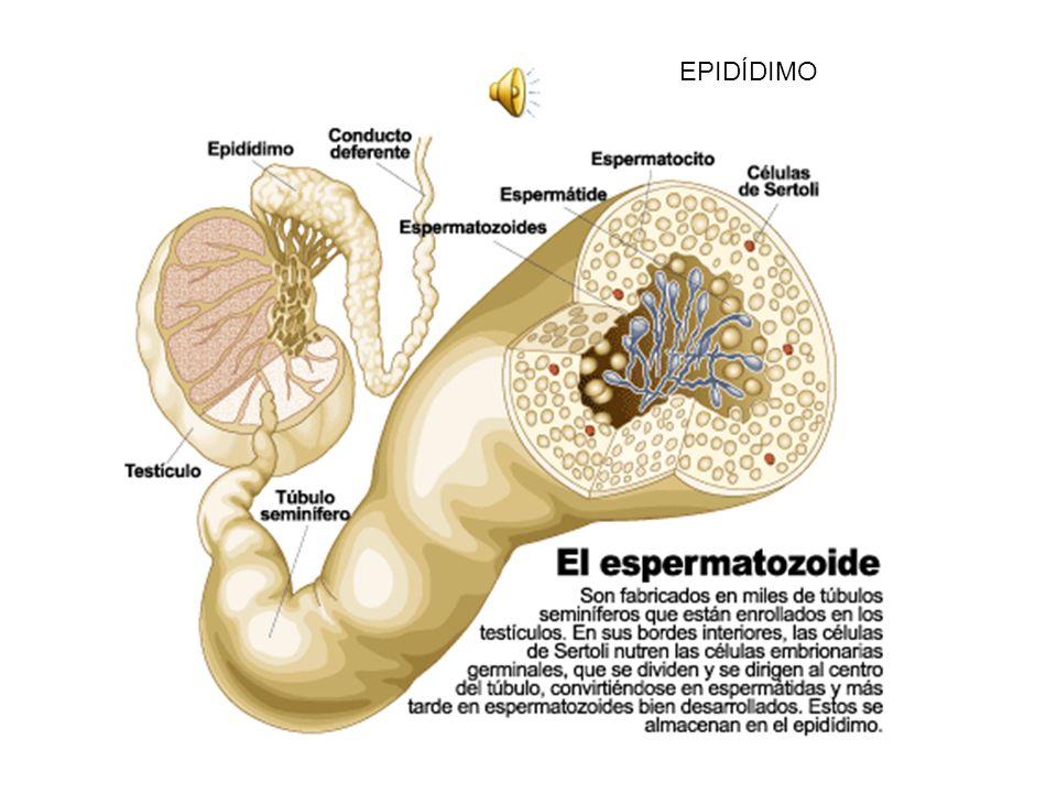 Espermatogonias Células de LeidigCélulas de Sertoli http://www.youtube.com/watch?v=iNHrn3boC1Y Pincha aquí para ver video Pincha pa ra escuchar explic