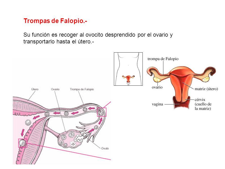 Ovarios: Producen células reproductoras femeninas, y hormonas como estrógenos y progesterona, que regulan el desarrollo de los caracteres sexuales fem
