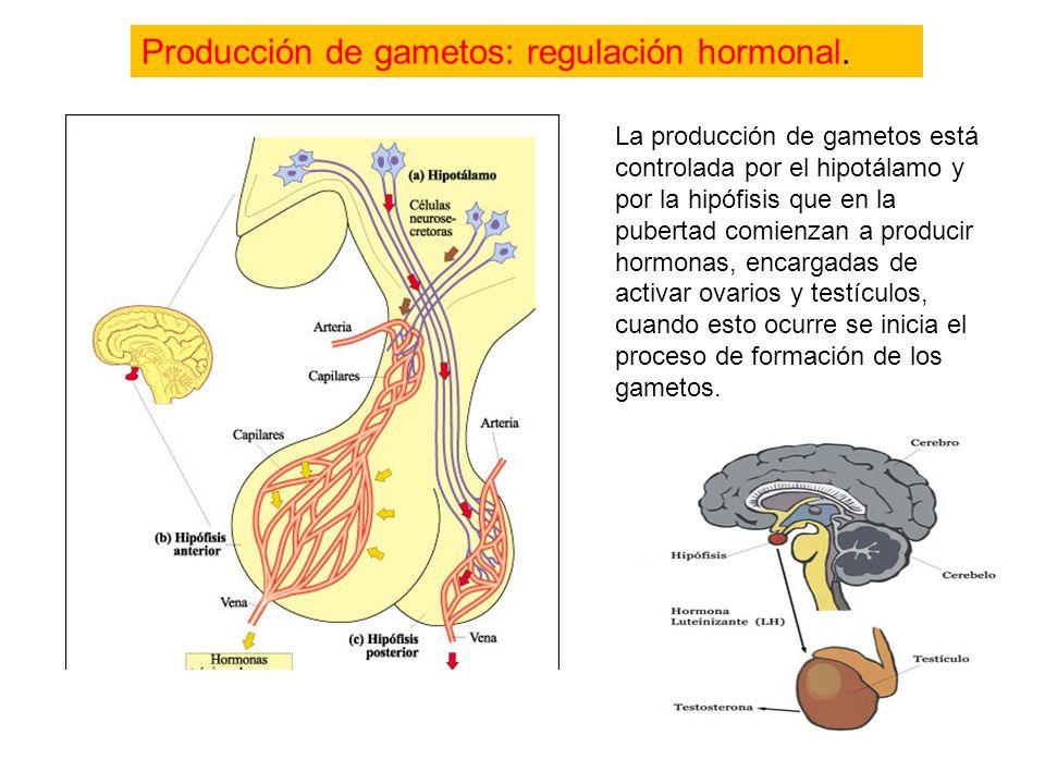 Imagen de un ovario junto a su cuerpo lúteocuerpo lúteo Gametos femeninos: los ovocitos http://www.youtube.com/watch?v=fHV8cv_mRB8 Pincha aquí para ob