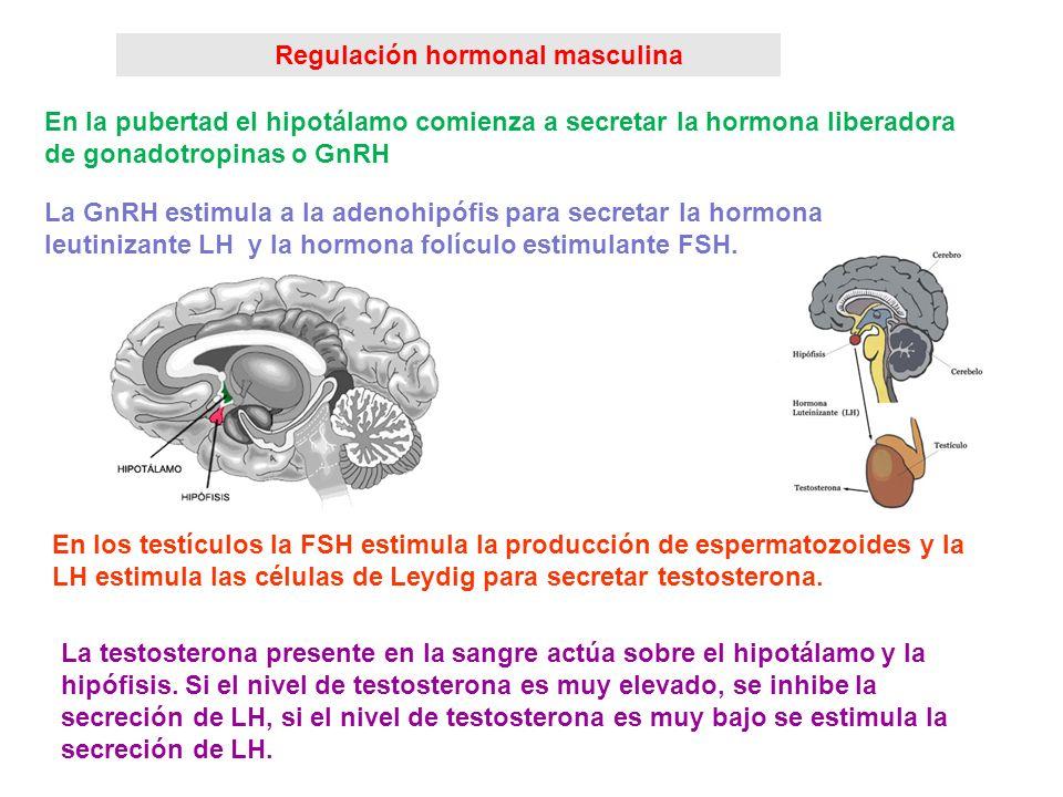 Producción de gametos: regulación hormonal. La producción de gametos está controlada por el hipotálamo y por la hipófisis que en la pubertad comienzan
