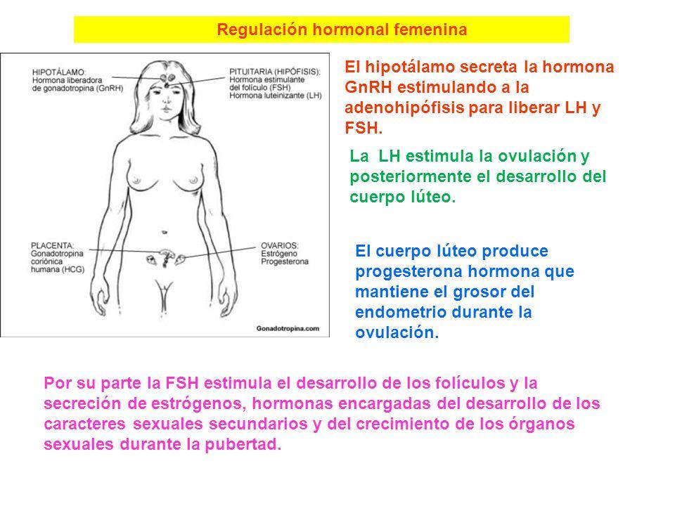Regulación hormonal masculina En la pubertad el hipotálamo comienza a secretar la hormona liberadora de gonadotropinas o GnRH La GnRH estimula a la ad
