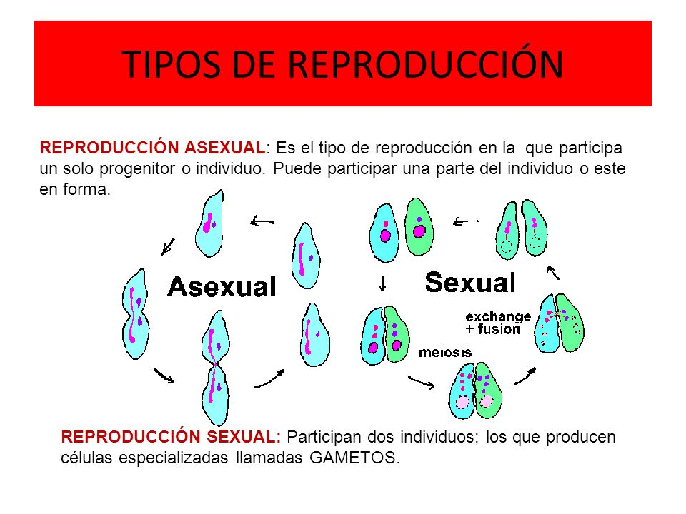 TIPOS DE REPRODUCCIÓN REPRODUCCIÓN ASEXUAL: Es el tipo de reproducción en la que participa un solo progenitor o individuo.