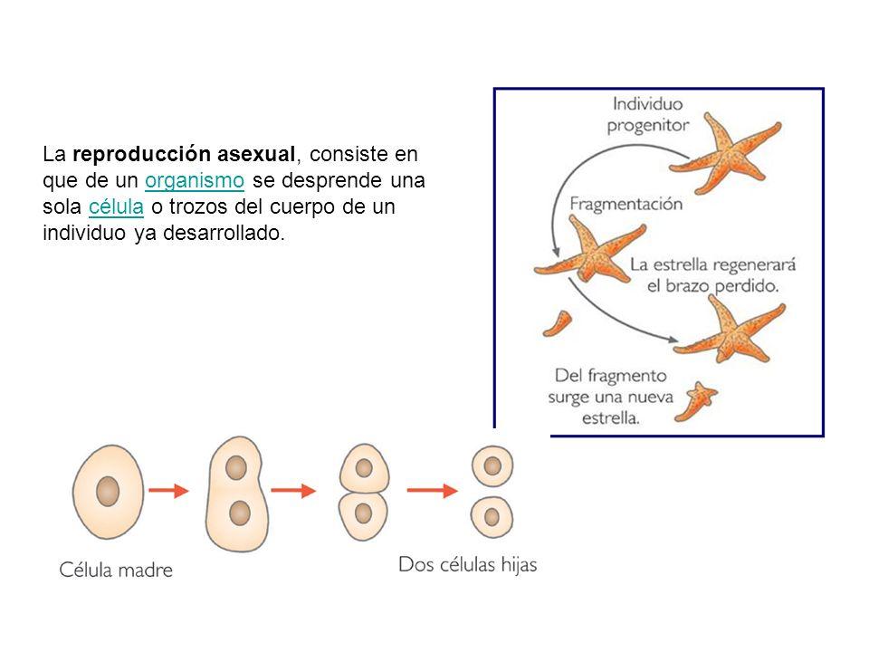 La reproducción asexual, consiste en que de un organismo se desprende una sola célula o trozos del cuerpo de un individuo ya desarrollado.organismocélula
