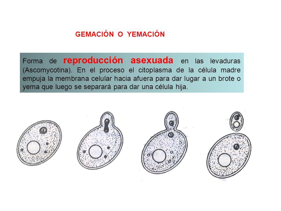 La reproducción asexual, consiste en que de un organismo se desprende una sola célula o trozos del cuerpo de un individuo ya desarrollado.organismocél
