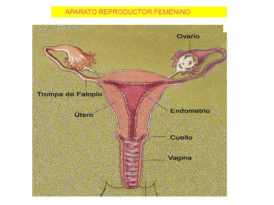 Regulación hormonal femenina El hipotálamo secreta la hormona GnRH estimulando a la adenohipófisis para liberar LH y FSH.