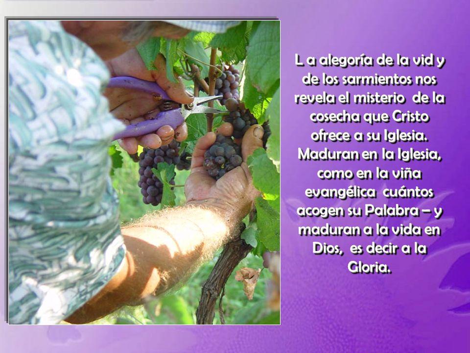 L a alegoría de la vid y de los sarmientos nos revela el misterio de la cosecha que Cristo ofrece a su Iglesia.