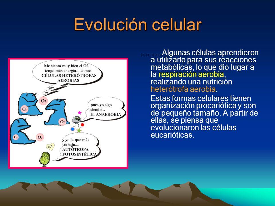Evolución celular …. ….Algunas células aprendieron a utilizarlo para sus reacciones metabólicas, lo que dio lugar a la respiración aerobia, realizando