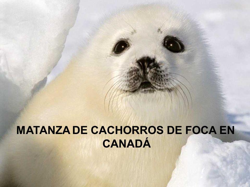 MATANZA DE CACHORROS DE FOCA EN CANADÁ