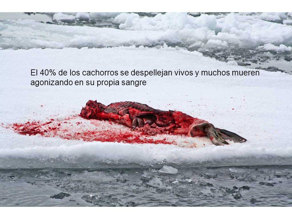 El 40% de los cachorros se despellejan vivos y muchos mueren agonizando en su propia sangre