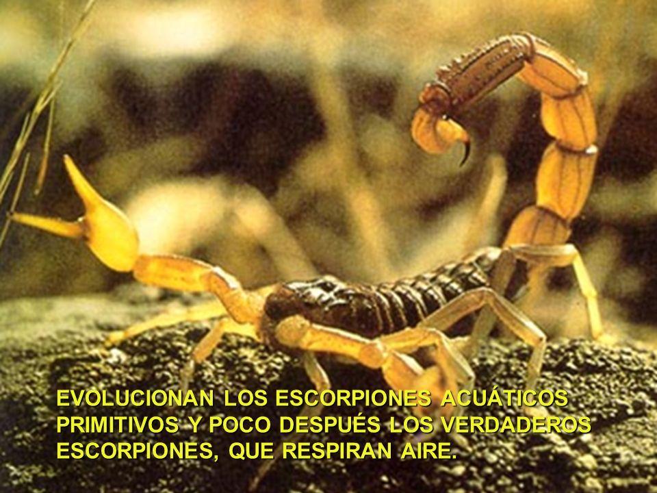 EVOLUCIONAN LOS ESCORPIONES ACUÁTICOS PRIMITIVOS Y POCO DESPUÉS LOS VERDADEROS ESCORPIONES, QUE RESPIRAN AIRE.