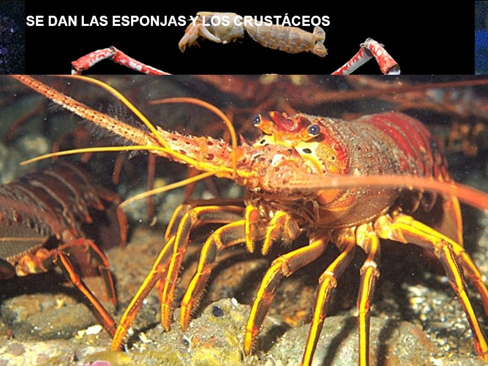 SEGUNDO PERIODO: LOS ANIMALES INVERTEBRADOS DESDE HACE 350 MILL. A 300 MILL.
