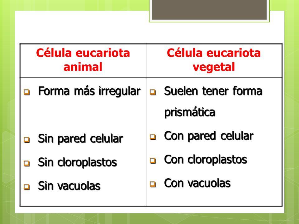 Célula eucariota animal Célula eucariota vegetal Forma más irregular Forma más irregular Sin pared celular Sin pared celular Sin cloroplastos Sin clor