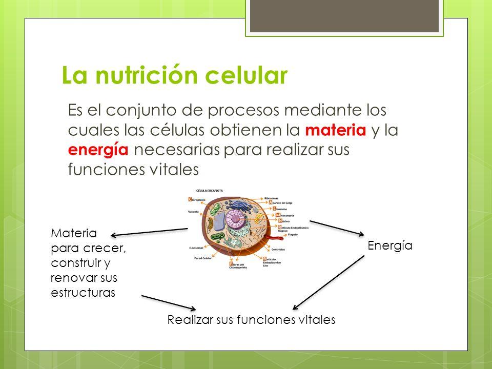 La nutrición celular Es el conjunto de procesos mediante los cuales las células obtienen la materia y la energía necesarias para realizar sus funcione