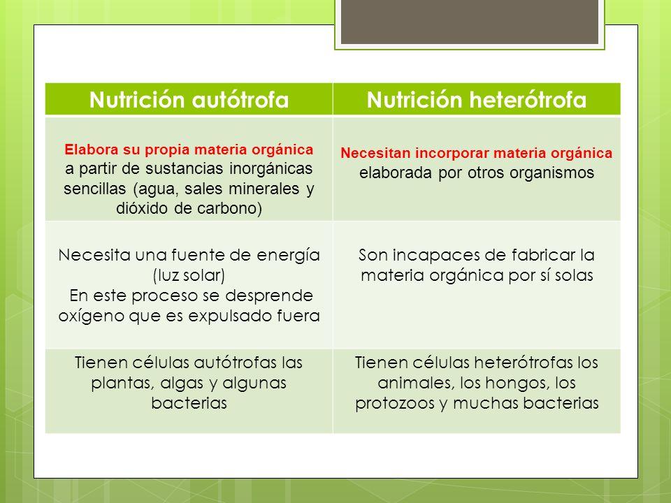 Nutrición autótrofaNutrición heterótrofa Elabora su propia materia orgánica a partir de sustancias inorgánicas sencillas (agua, sales minerales y dióx