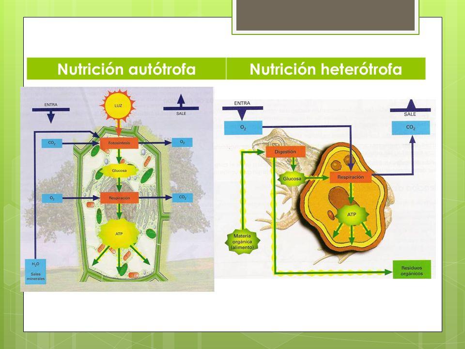 Nutrición autótrofaNutrición heterótrofa