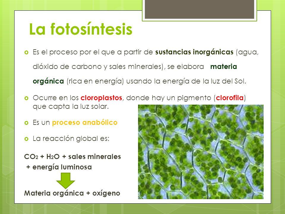 La fotosíntesis Es el proceso por el que a partir de sustancias inorgánicas (agua, dióxido de carbono y sales minerales), se elabora materia orgánica