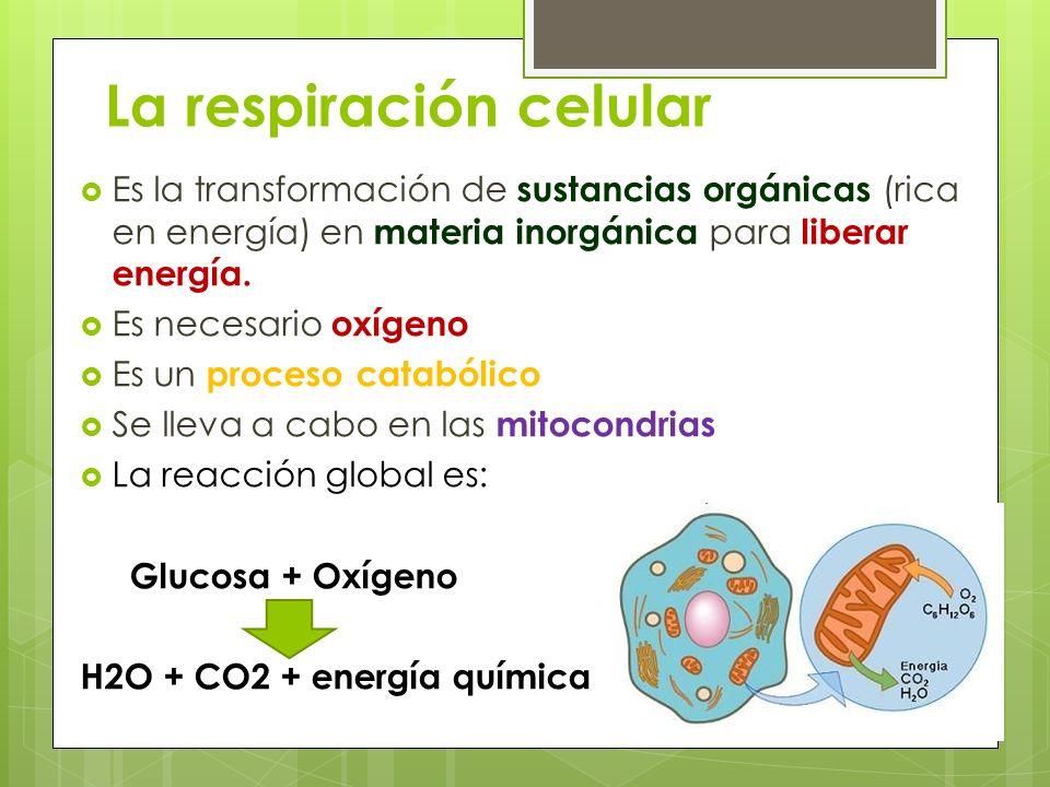 La respiración celular Es la transformación de sustancias orgánicas (rica en energía) en materia inorgánica para liberar energía. Es necesario oxígeno