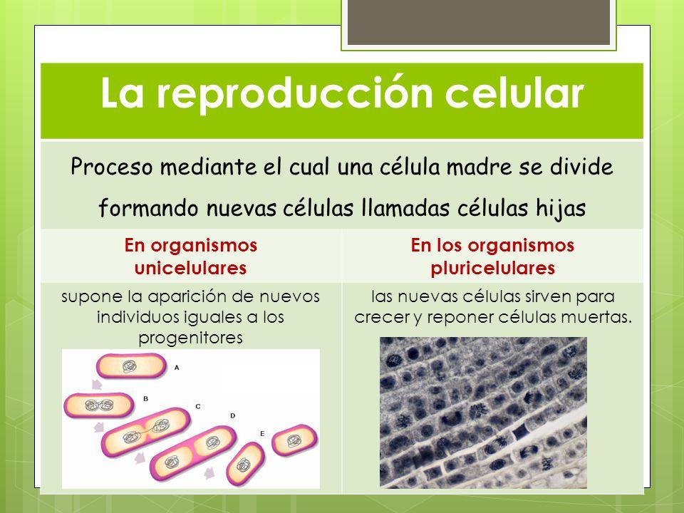 La reproducción celular Proceso mediante el cual una célula madre se divide formando nuevas células llamadas células hijas En organismos unicelulares