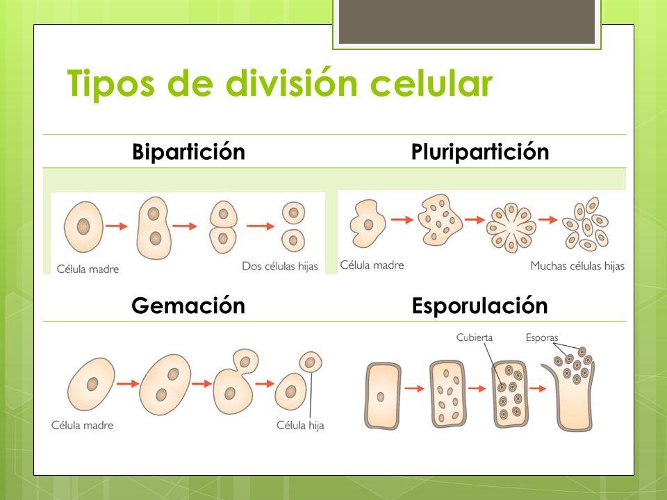 Tipos de división celular BiparticiónPluripartición GemaciónEsporulación