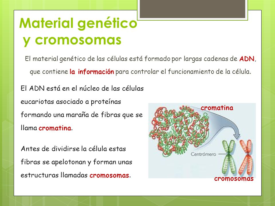 Material genético y cromosomas El material genético de las células está formado por largas cadenas de ADN, que contiene la información para controlar