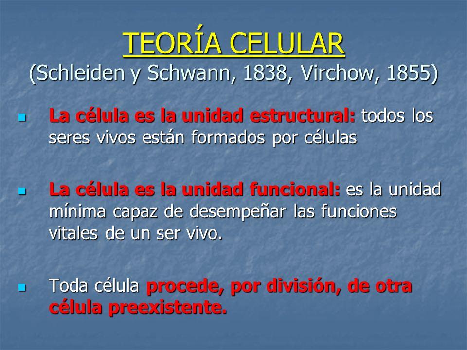 TEORÍA CELULAR (Schleiden y Schwann, 1838, Virchow, 1855) La célula es la unidad estructural: todos los seres vivos están formados por células La célu
