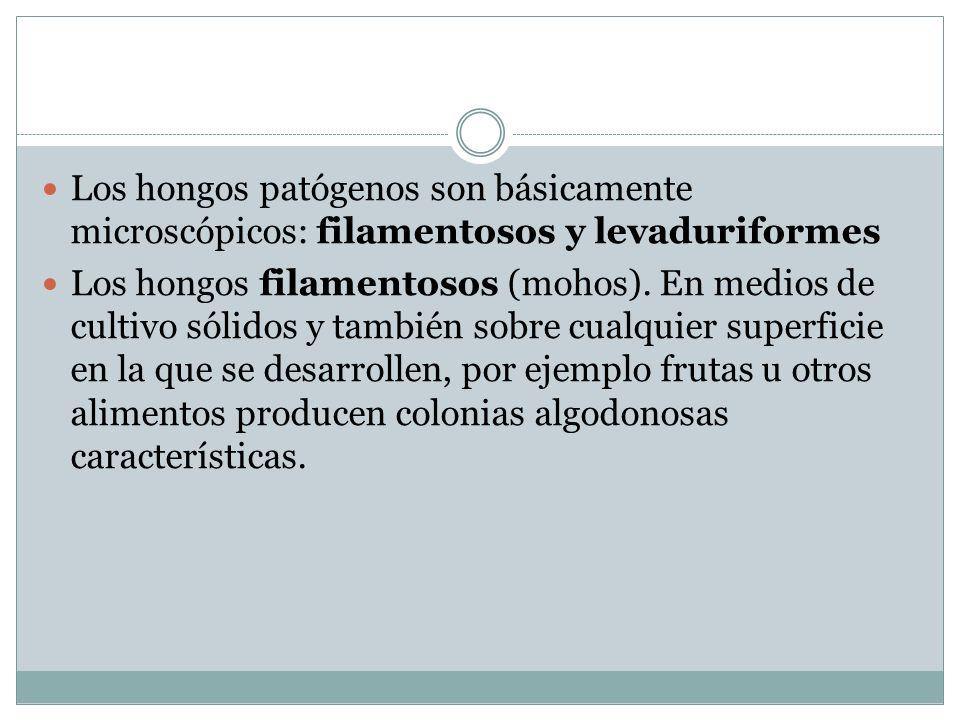Los hongos patógenos son básicamente microscópicos: filamentosos y levaduriformes Los hongos filamentosos (mohos). En medios de cultivo sólidos y tamb