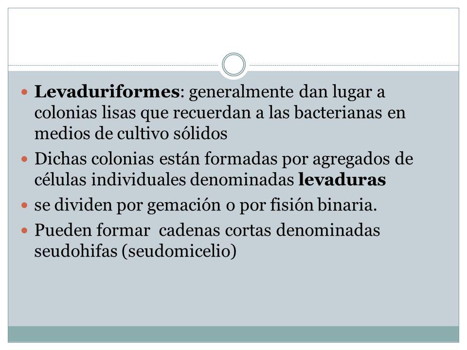 Levaduriformes: generalmente dan lugar a colonias lisas que recuerdan a las bacterianas en medios de cultivo sólidos Dichas colonias están formadas po
